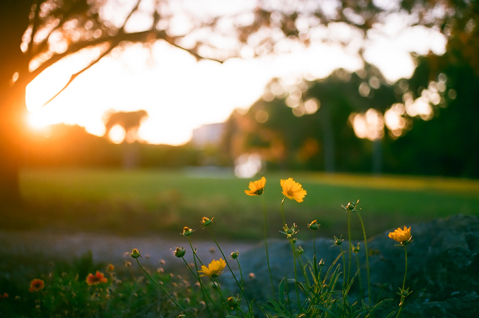 A dreamy low light shot of a green landscape with yellow flowers in the foreground