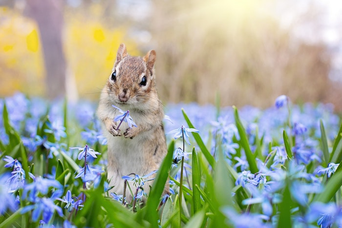 A squirrel among blue flowers