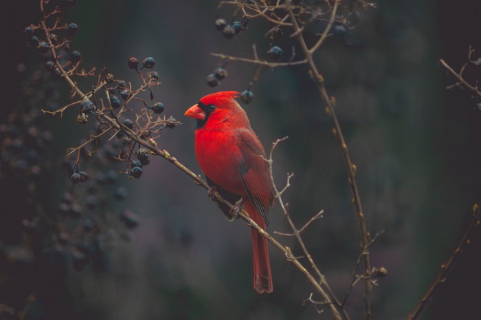 A red bird perched on a tree taken with a telephoto lens