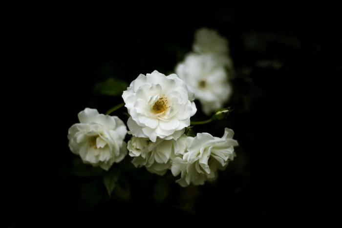 Fine art shot of white flowers on a dark surface with dark background