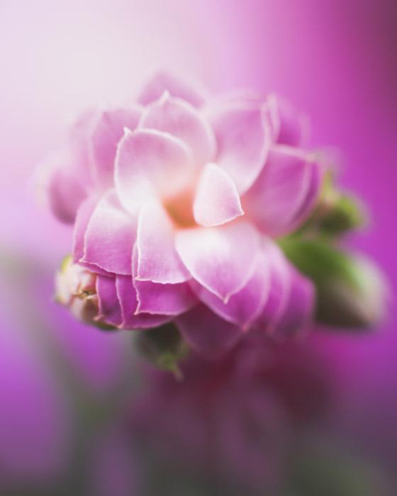 A macro photo of a purple flower
