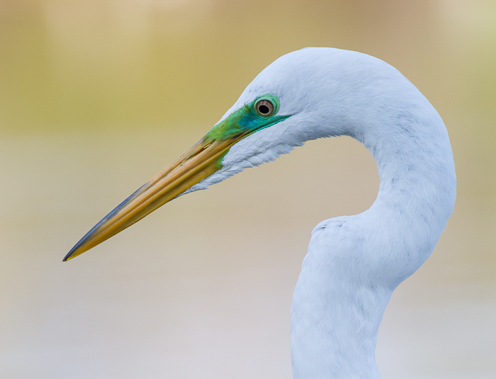 A close up w\wildlife portrait of a great egret