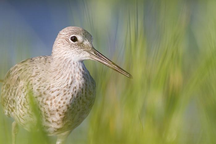 A close up of a willet shorebird walking through grass