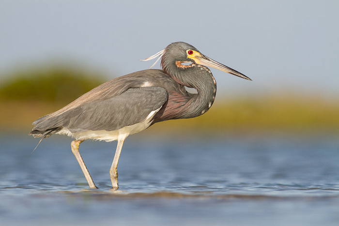 A close up bird photography shot of a tricolored heron wading in shallow water