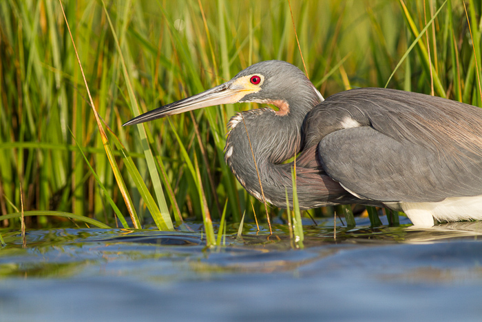 A tricolored heron demonstrates the art of stalking