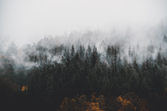 A forest of pine trees covered by fog