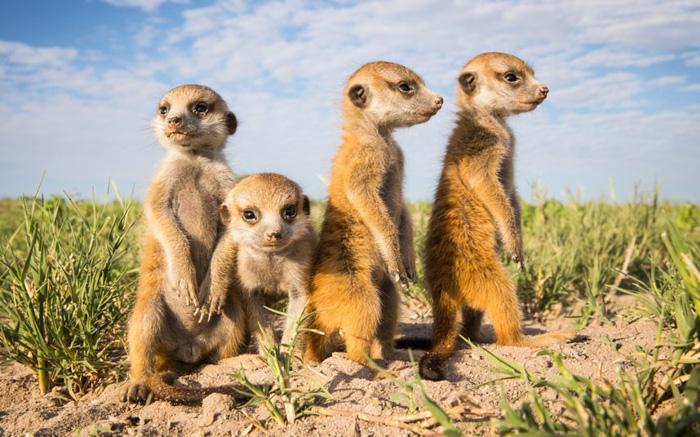 A bright close up portrait of four meerkats by Will & Matt Burrard-Lucas