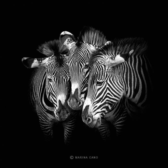 Amazing portrait of three zebras against a black background by famous wildlife photographer Marina Cano