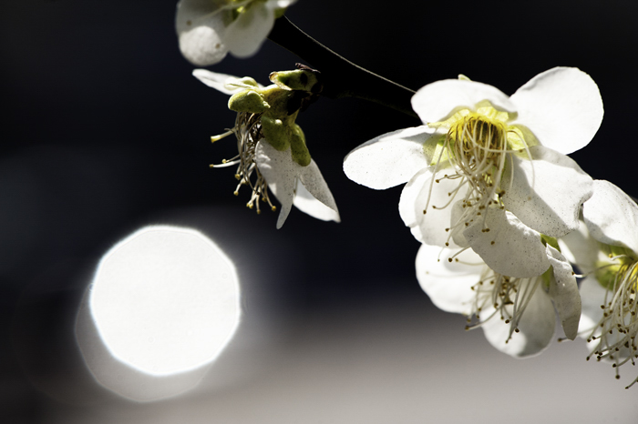 close up of white Burnet Rose blossoms against a dark background