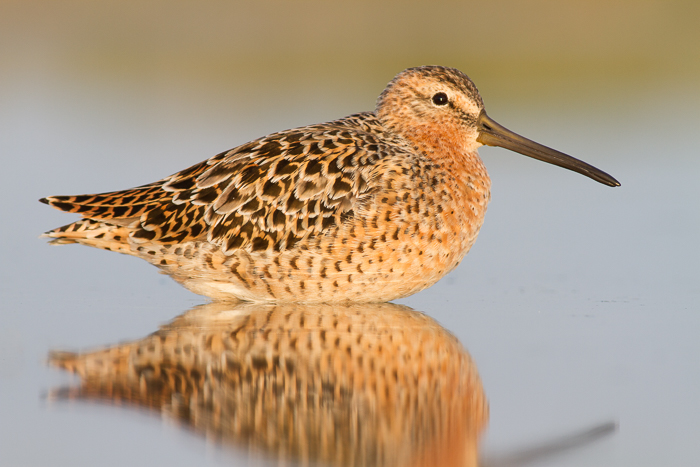 A wildlife portrait of a Dowitcher resting on a lake during golden hour