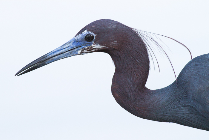 Close up shot of a Little Blue Heron - wildlife photography rules