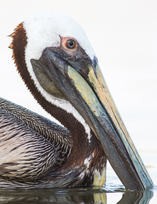 A close up portrait of a pelican in water - wildlife photography rules