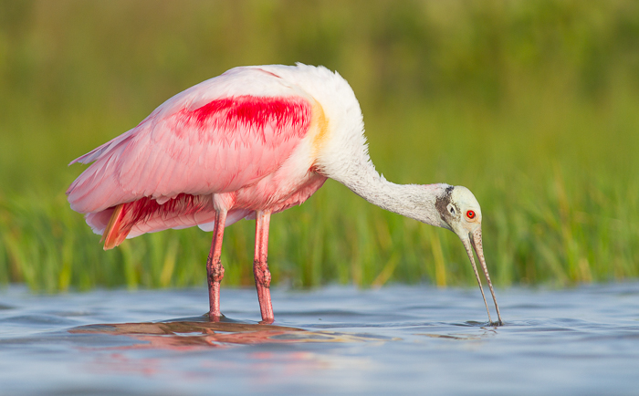 A wildlife portrait of a Roseate Spoonbill in water