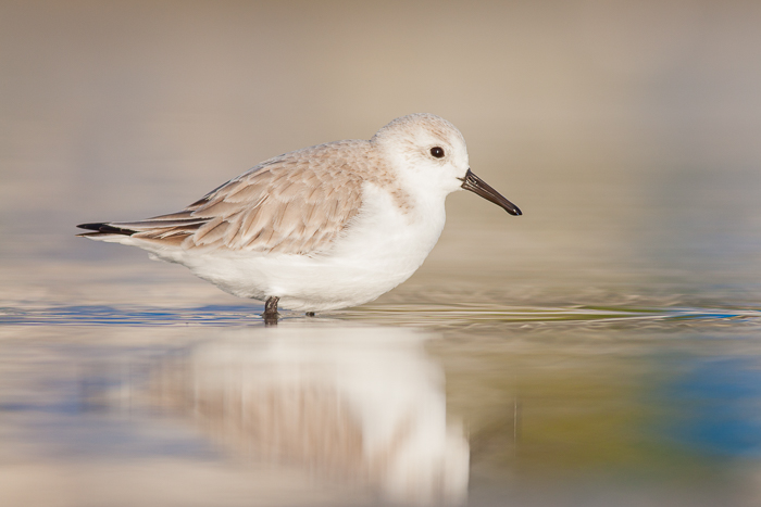 A serene portrait of a sanderling bird resting on a lake