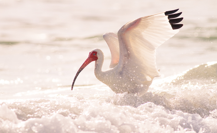 Stunning bird photography portrait of a white Ibis landing on foamy water