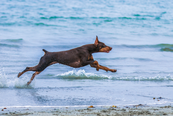A large brown and black dog running on the beach - photo editing mistakes to avoid