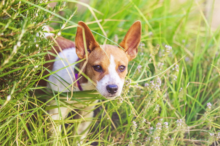 A cute white and brown dog standing in long grass