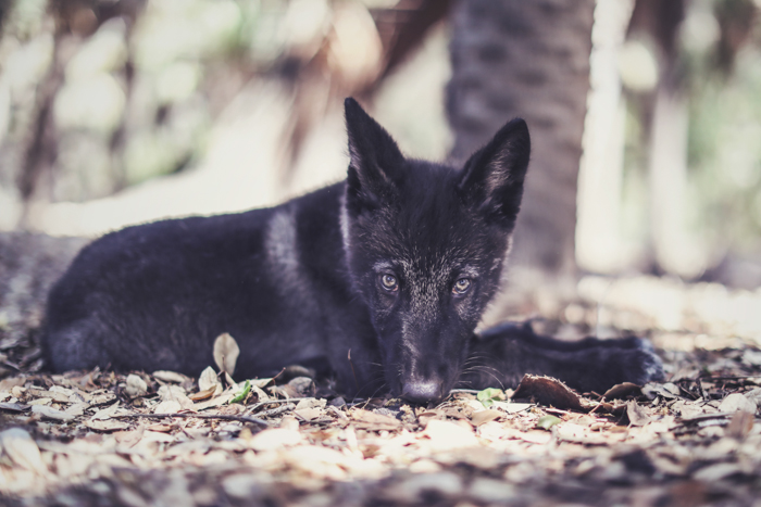 Portrait of a black wolf like dog sitting outdoors
