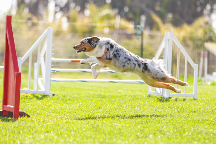 A dog jumping in mid air at an agility event