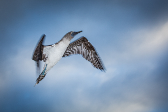 photo of bird in flight flying upwards, the clouds and blue sky behind him