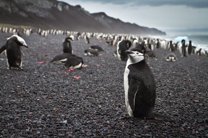 photo of a black and white penguin on a stony beach looking towards the camera with the waves and the mountain in the background