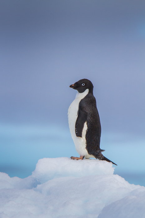 black and white penguin side view standing on a block of ice with the blue sea in the background