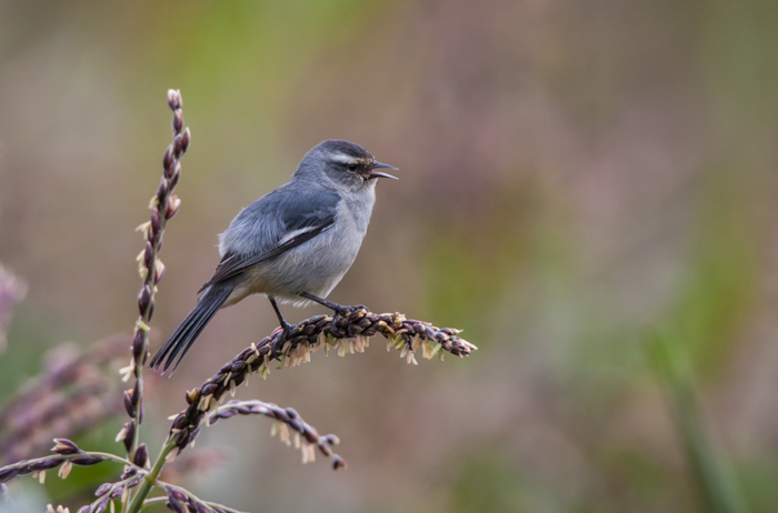 small blue Cinereous conebill bird standing on a twig of lavender