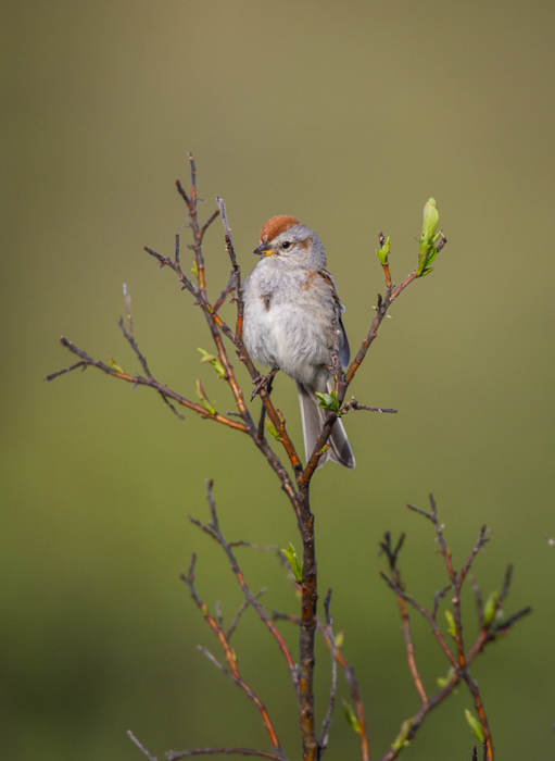 small bird with a red crest on its head, standing on a thin tree branch