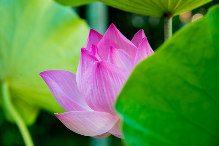 Centrally placed close up of a lotus flower