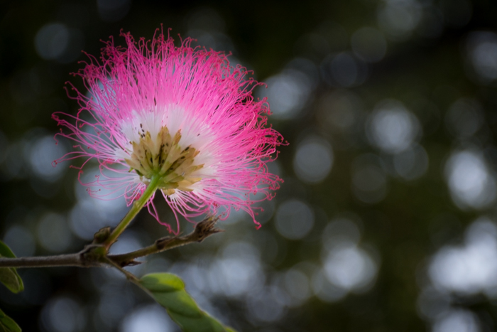 A close up photo of a pink flower with a soft bokeh background