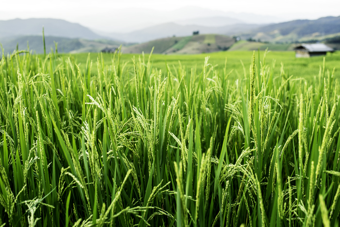 tight composition of rice growing in a field