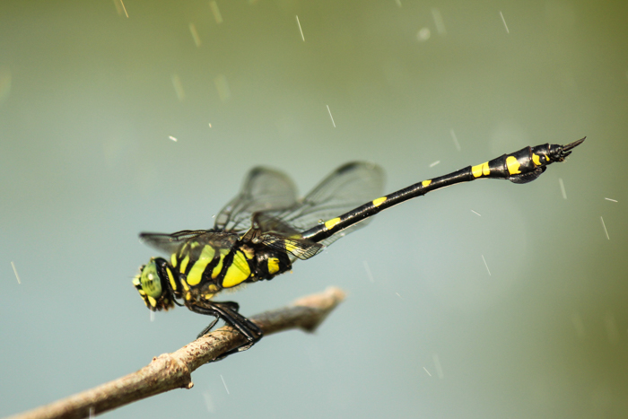 A macro rain photography shot of a dragonfly on a branch