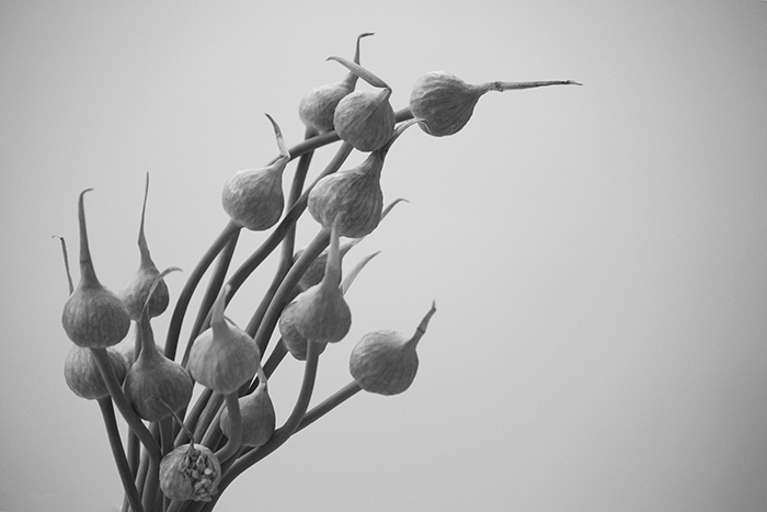 Garlic flowers converted to black and white, with no adjustment of HSL colour sliders.