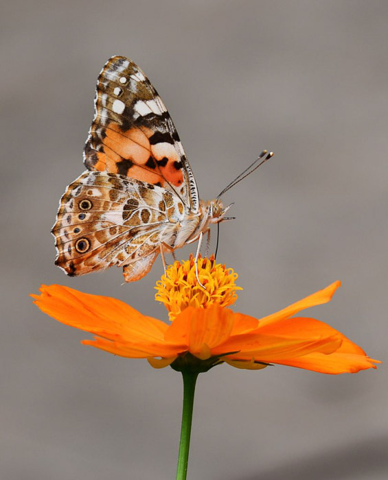 A close up photo of a butterfly on an orange flower