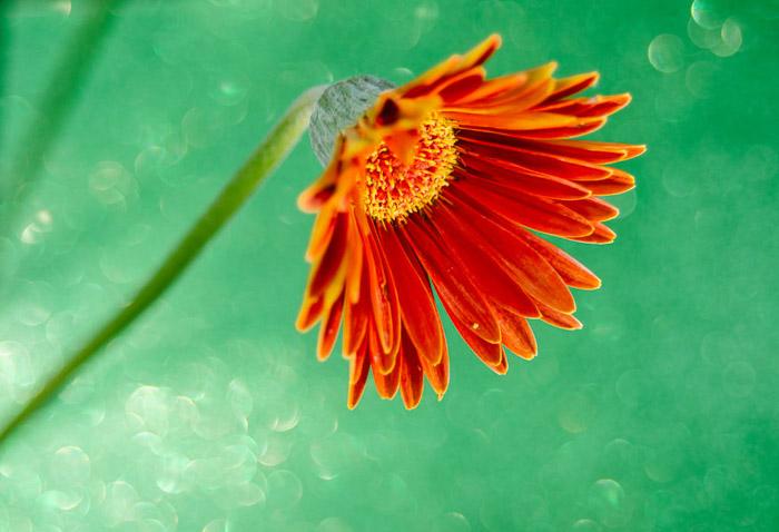 A close up flower photography shot of an orange flower
