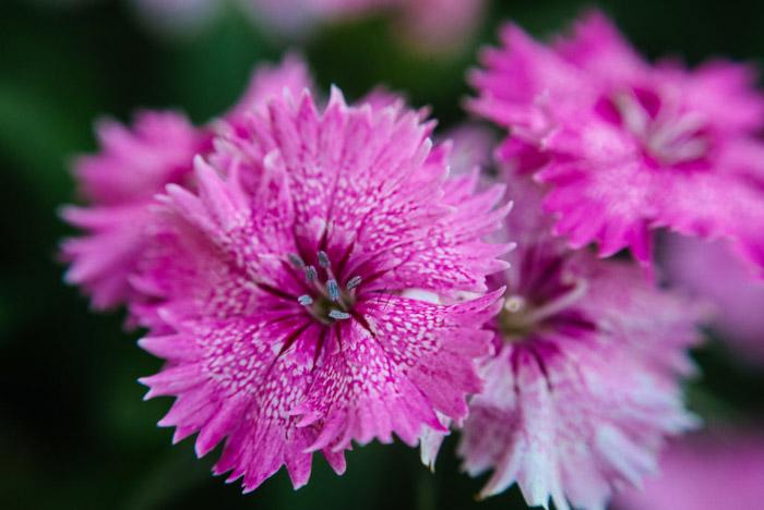 A close up pink flower photograph