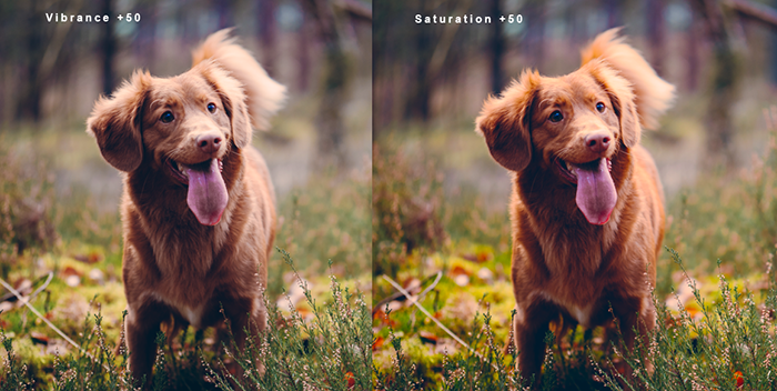 Diptych showing vibrance vs saturation and how it effects pet photography