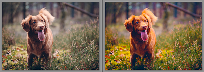 Diptych showing what is vibrance and how it effects pet photography