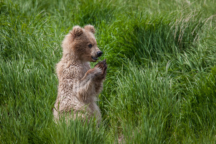 A baby bear laying in grass - wildlife photography do's and don'ts