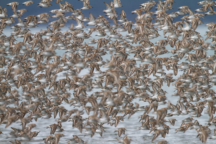 A large flock of birds in flight - wildlife photography tips