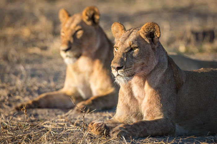 A portait of two female lions lying on dry grass - animal photography tips