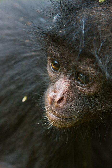Close up portrait of a small black monkey - wildlife photography tips