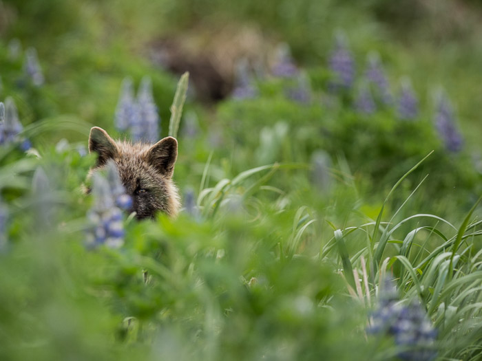 A nature photo of a fox hiding in tall grass