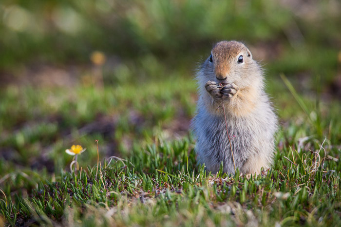 A wildlife portrait of an artic ground squirrel standing on grass and eating