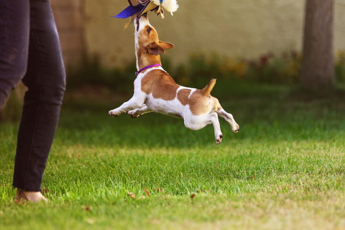 A pet portrait of a small dog jumping to catch a toy shot with canon prime lens