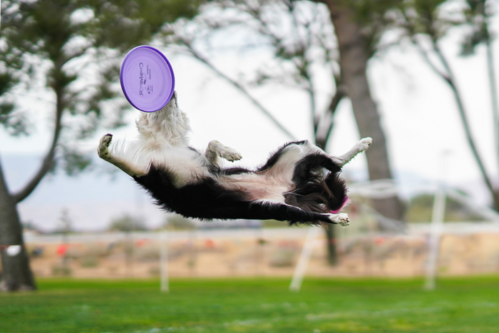 A pet portrait of a Shepard dog jumping to catch a frisbee shot with canon prime lens