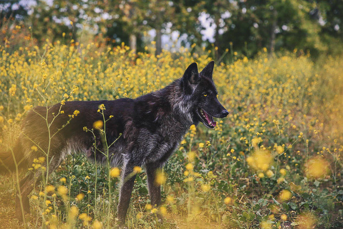 A pet portrait of a black dog standing among yellow flowers shot for social media photography