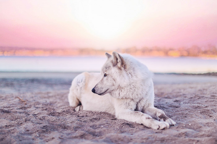 A pet photography shot of a white dog lying on a beach - social media photo tips