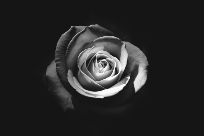 A close up photo of a rose in bloom shot with black and white film