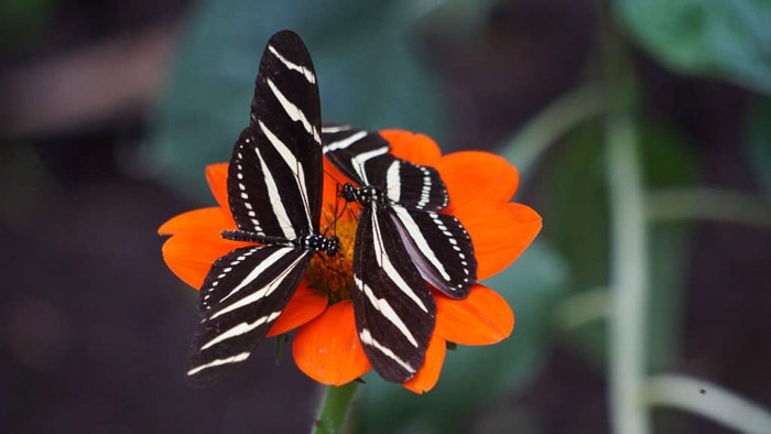 Beautiful butterfly photography of a two black and white butterflies on an orange flower
